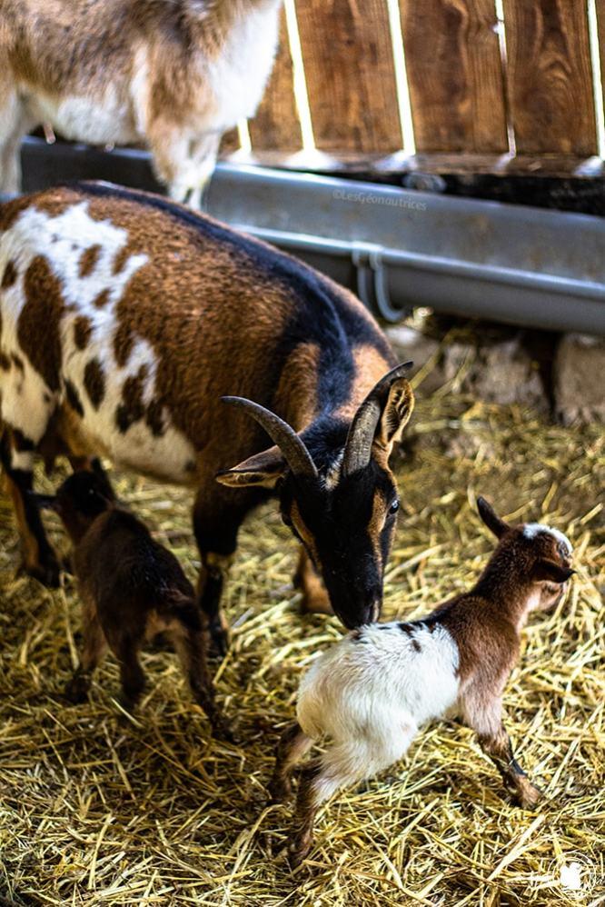 Chèvres au gîte Santa Klara à Zumaia - blogtrip Nekatur