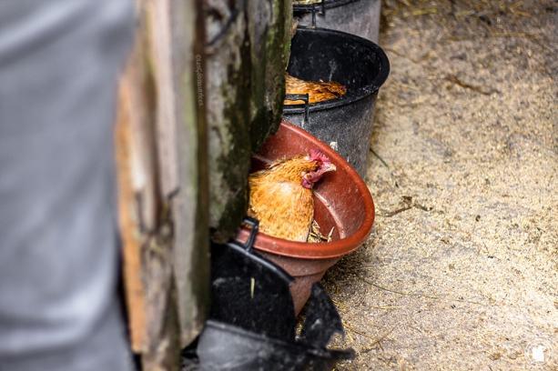 Poules du gîte Santa Klara - blogtrip Nekatur