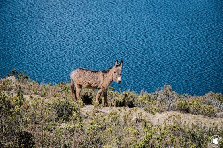 Un âne sur l'Isla del Sol