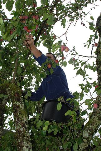 Harvesting plums (photo credit: Laura Nielsen)