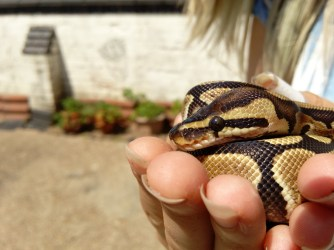 Flora - Normal, but far from it Royal Python