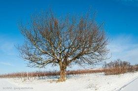 Kirschbaum im Winter - Bild Nr. 201212088183