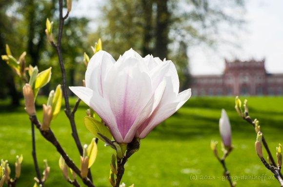 Magnolienblüte - Bild Nr. 201304248628