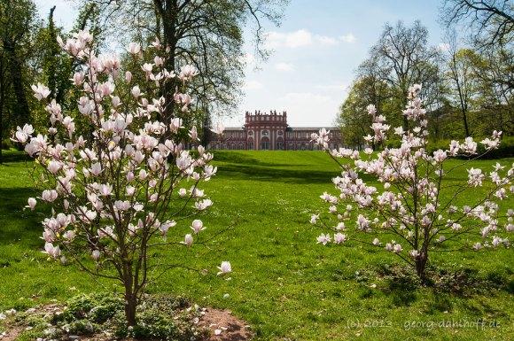 Magnolien im Biebricher Schlosspark - Bild Nr. 201304248635