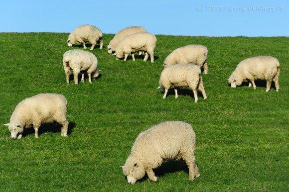 Schafe am Deich - Bild Nr. 201310182093