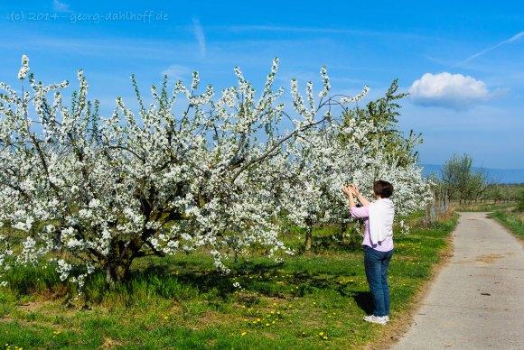 Obstplantagen in Mainz-Finthen - Bild Nr. 201404062729