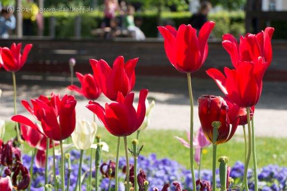 Ende der Tulpensaison 2014 - Bild Nr. 201405040373