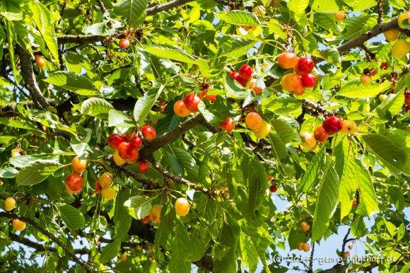 Kirschen am Baum - Bild Nr. 201406080655