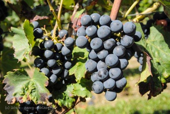 Rotweintrauben - Bild Nr. 201408303587