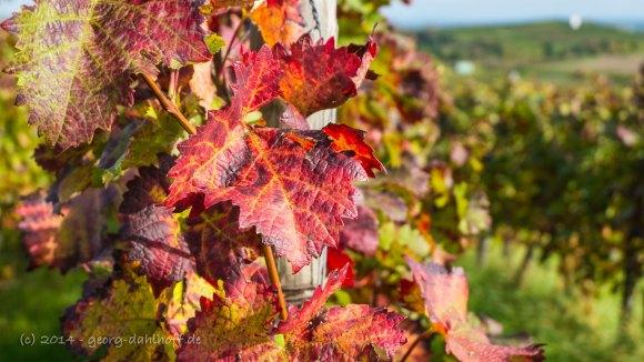 Rotes Weinlaub - Bild Nr.  201410121476
