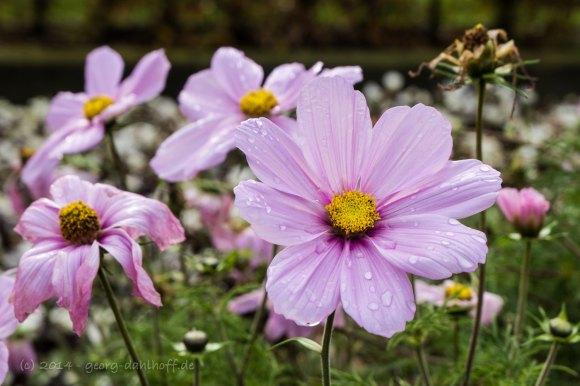 Reste der sommerlichen Blütenpracht - Bild Nr. 201411091697