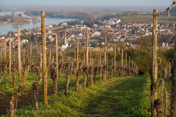 Aussicht auf Nierstein und den Rhein - Bild Nr. 201504091984