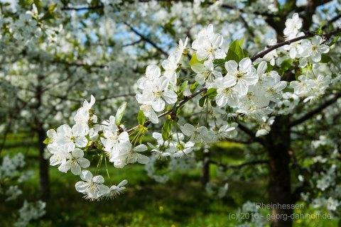 Kirschblüten - Bild Nr. 201604244220