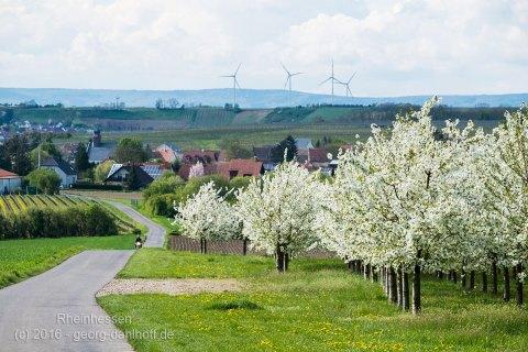 Kirschplantage mit Lörzweiler im Hintergrund - Bild Nr. 201604244243
