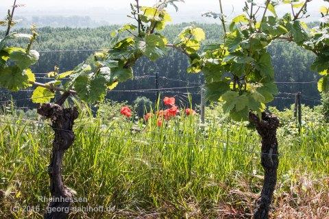 Wein und Mohn - Bild Nr. 201605260291