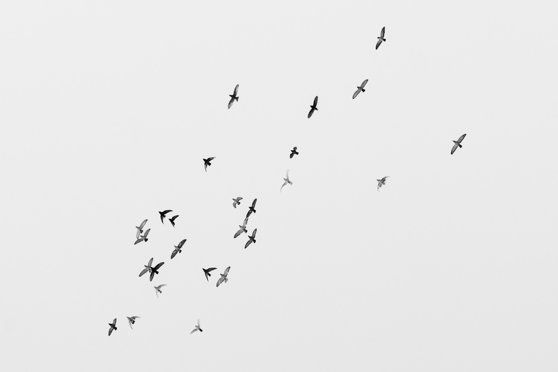 An image showing a group of feral pigeons in flight, taken by George Burke in Tripoli, Lebanon.