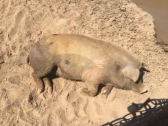 A Happy Pig