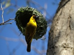 Southern masked weaver.