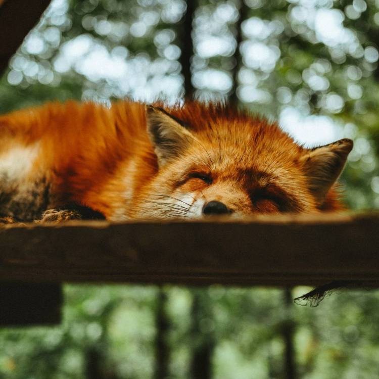 The snoozing Teumessian fox awakens. She just needs some coffee. 📷:Derek Liang @unsplash #teumessianfox #fox #amwriting #goodmorming #nanowrimo #frappe #author