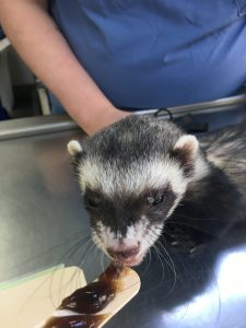 Ferret Georgetown Veterinary Hospital