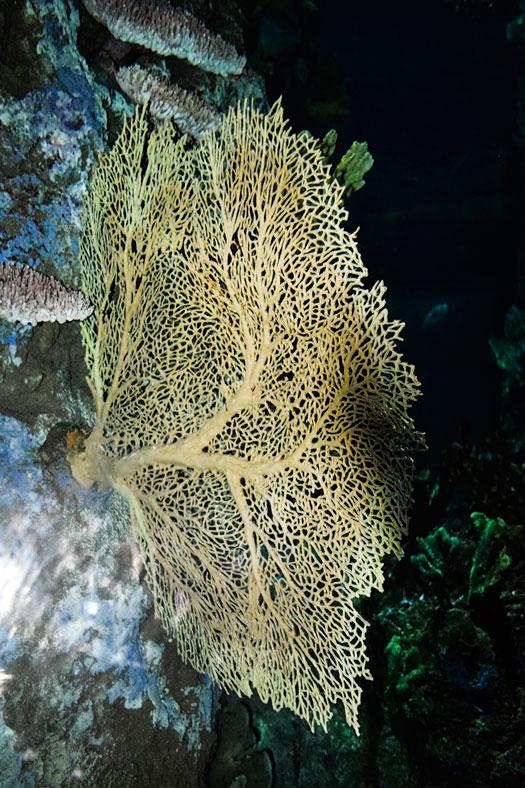 Coral-fan