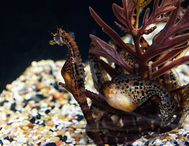 Seahorses-pregnant