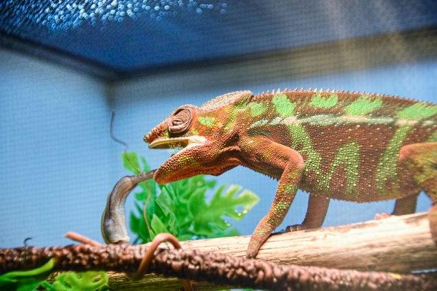 Tongue-on-cricket