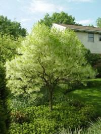 1000+ images about Fringe tree on Pinterest