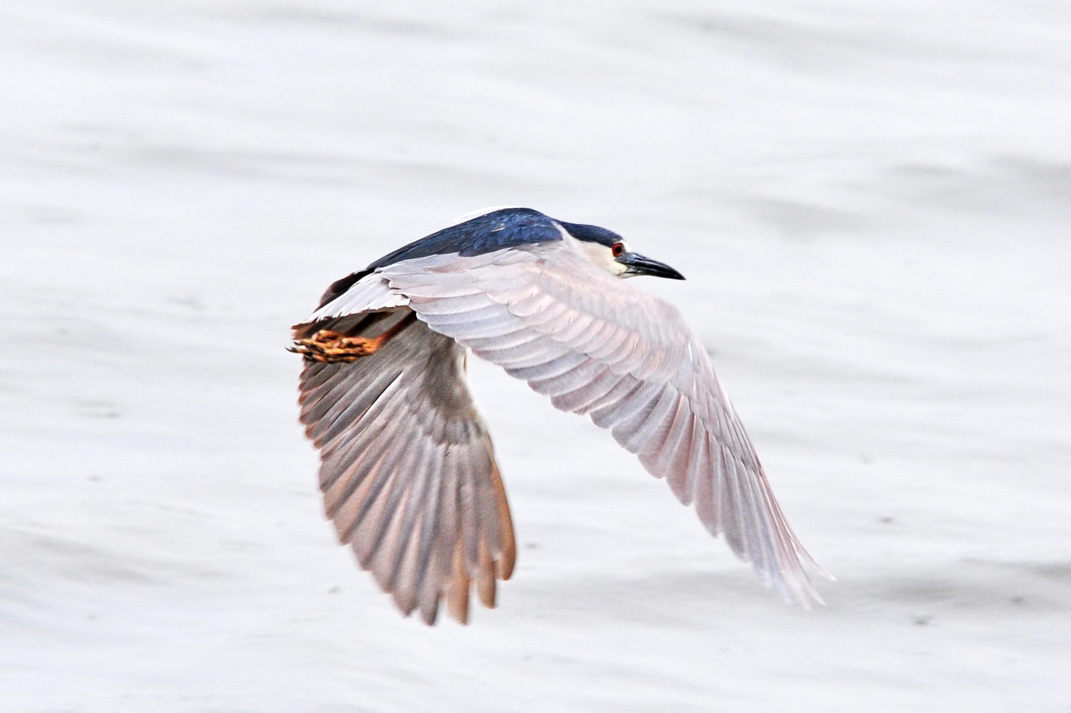 night-heron-cal_6015
