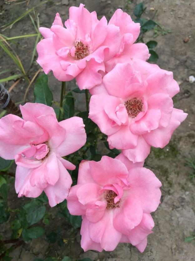 Trandafir roz