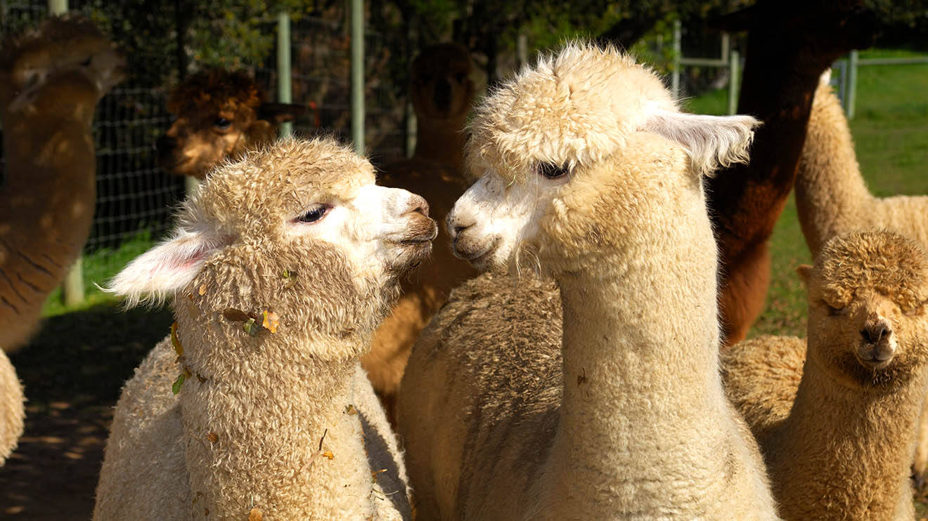 Alpacas And Llamas In Georgia Georgia Grown Livestock