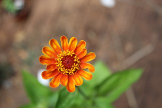 the same zinnia the following day