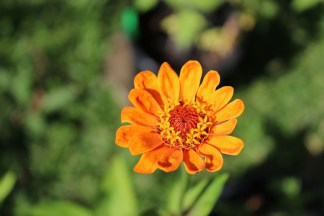 my perfect first zinnia opening more and more