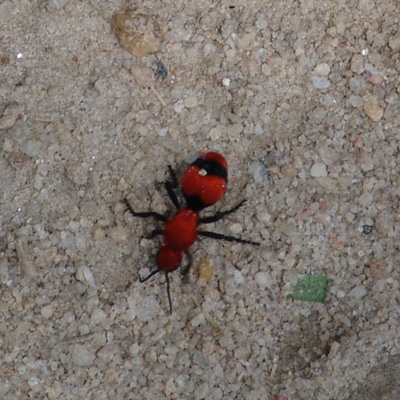 The Shell Of The Original Inhabitant Then Becomes A Site To Construct Cocoon For Velvet Ant Pupa Some Adults Emerge That Summer While Others