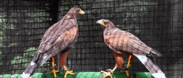 Image result for pet hawk for sale