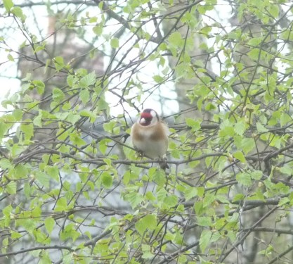 Goldfinch front view
