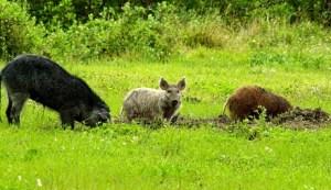 Wild hogs in a field (photo credit: NASA)