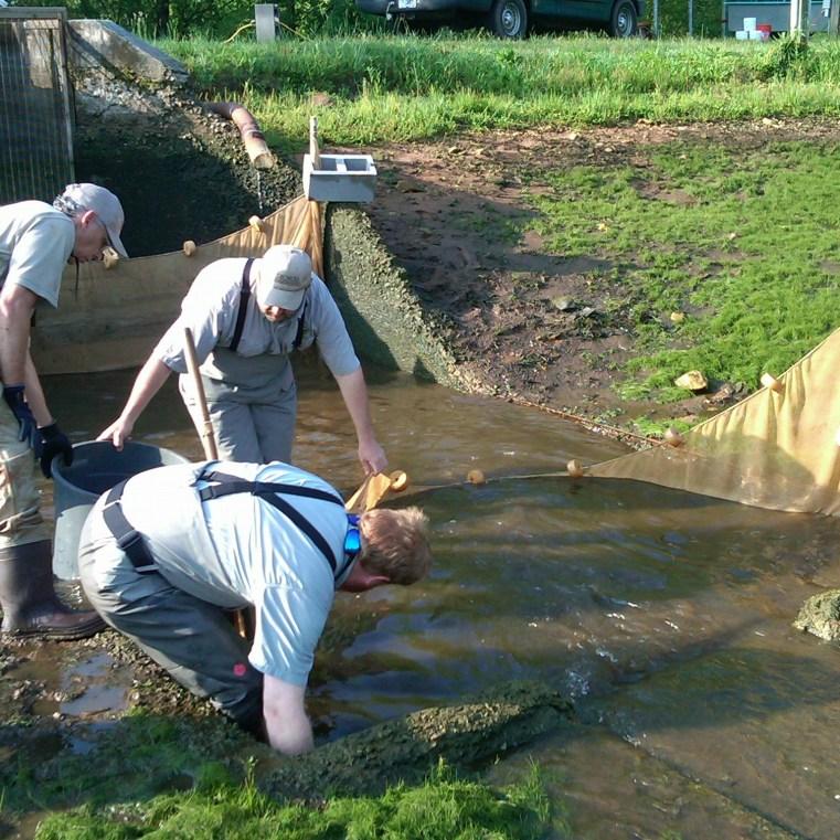 Burton Hatchery staff in action