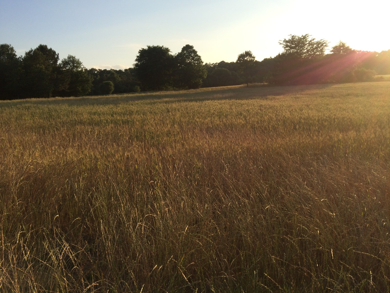 Lower Broad River WMA winter wheat