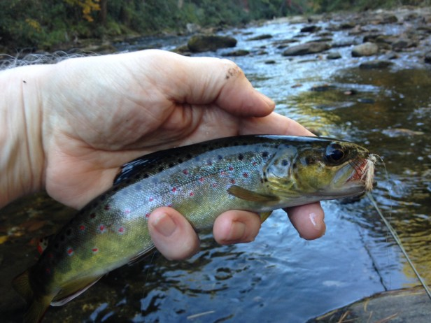 trout-bnt-tooga-erwa-10-23-16-pic1