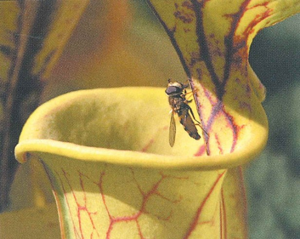 s_flava_withhoverfly_stewartmcphersontext_2007
