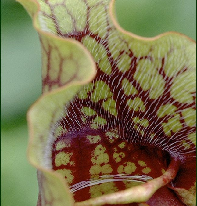 Sinister Seduction: Pitcherplants and Their Prey