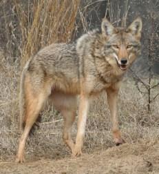 coyote-bobca-187