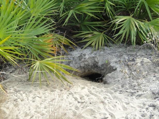 Gopher tortoise burrow_Alapaha WMA_Rick Lavender_DNR_1182016