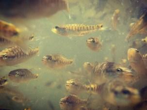 bass shoal MF fingerlings in tank 5-17-17