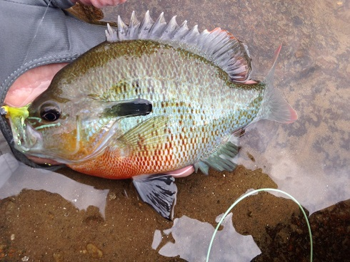 sunfish redbreast on clouser Hooch BS June 2017 small