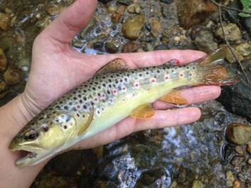 trout bnt4 Damer idbis creek June 2017