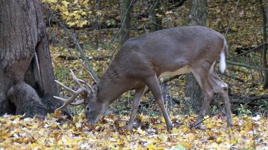 deer in oaks
