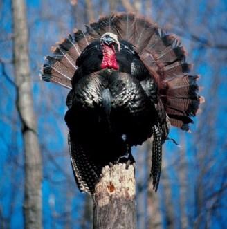 turkey on log