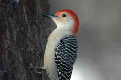 Red-bellied Woodpecker5A.Todd Schneider